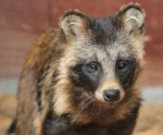raccoon_dog3